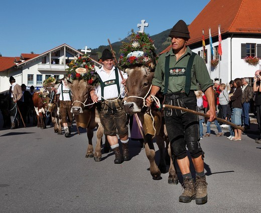 Stock Photo: 1848-556044 Ceremonial driving down of cattle from the mountain pastures, returning of the cattle to their respective owners, decorated cows, Pfronten, Ostallgaeu district, Allgaeu region, Swabia region, Bavaria, Germany, Europe