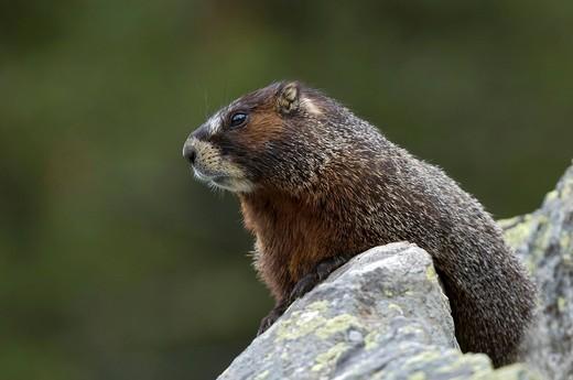Stock Photo: 1848-556796 Yellow_belly Marmot Marmota flaviventris, Yellowstone National Park, Wyoming, USA, North America
