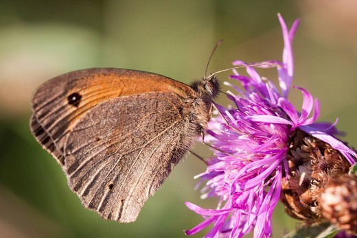 Stock Photo: 1848-557050 Large Heath or Common Ringlet Coenonympha tullia