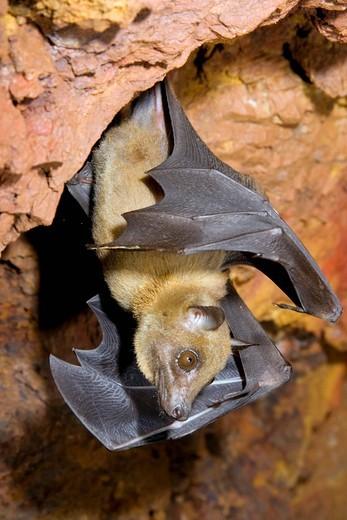 Angolan fruit bat Lissonycteris angolensis, in cave, Kakamega forest, Kenya, Africa : Stock Photo