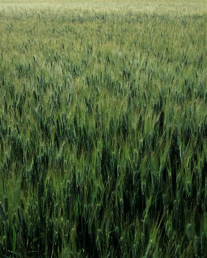 Stock Photo: 1848-55768 Cornfield