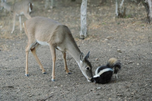 White_tailed Deer Odocoileus virginianus, Striped Skunk Mephitis mephitis, feeding, New Braunfels, San Antonio, Hill Country, Central Texas, USA : Stock Photo