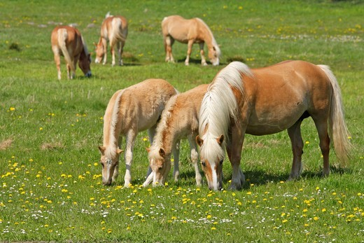 Haflinger horses grazing at Waase, Ummanz Island, Ruegen Island, Mecklenburg_Western Pomerania, Germany, Europe : Stock Photo