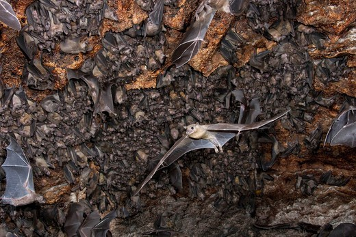 A colony of Egyptian fruit bats Rousettus aegyptiacus in a cave, Kenya, Africa : Stock Photo