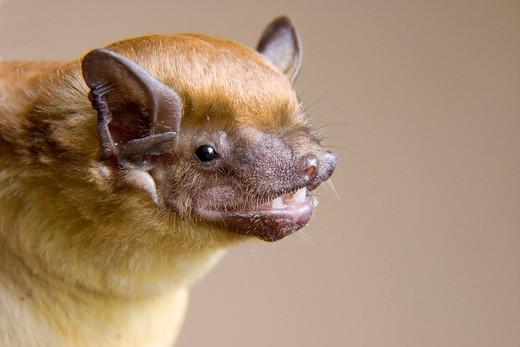 Stock Photo: 1848-558480 African yellow house bat Scotophilus dinganii, portrait, National Park Tsavo, Kenya, Africa