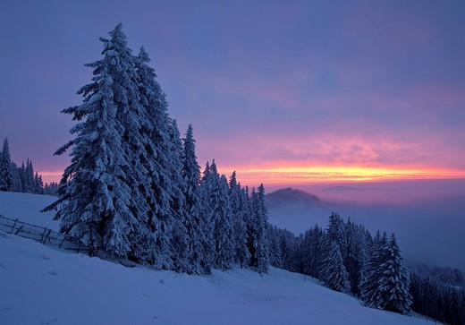 Dawn in winter with snow_covered trees, Sommeralm, Styria, Austria, Europe : Stock Photo