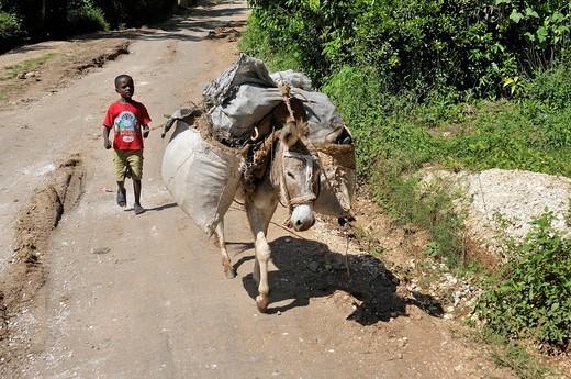 Boy guiding a donkey, Petit Goave, Haiti, Caribbean, Central America : Stock Photo