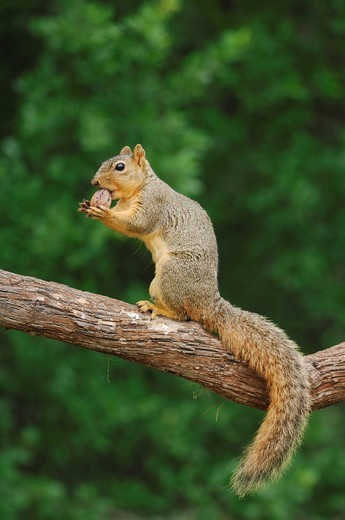 Eastern Fox Squirrel Sciurus niger, male eating pecan nut, Fennessey Ranch, Refugio, Coastal Bend, Texas Coast, USA : Stock Photo