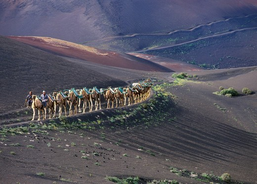 Camel caravan in the volcanic landscape in Montana del Fuego de Timanfaya National Park, Lanzarote, Canary Islands, Spain, Europe : Stock Photo