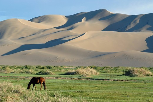 Mongolian horse standing in a lush green grass landscape in front of the large sand dunes Khorgoryn Els in the Gobi Desert, Gurvan Saikhan National Park, Oemnoegov Aimak, Mongolia, Asia : Stock Photo