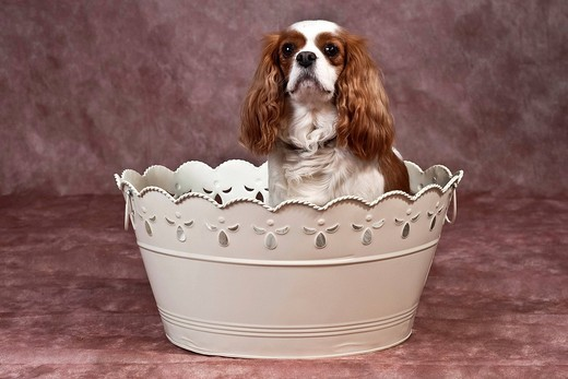 Cavalier King Charles Spaniel sitting in an ornate bathtub : Stock Photo