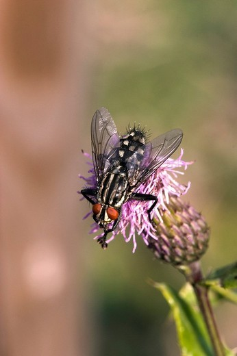 Fly perched on a thistle : Stock Photo