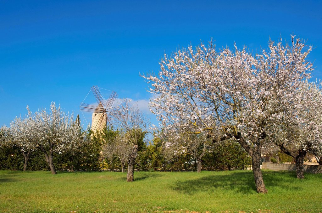 Stock Photo: 1848-562593 Blossoming almond trees and a windmill in Santa Maria del Cami, Majorca, Balearic Islands, Spain, Europe