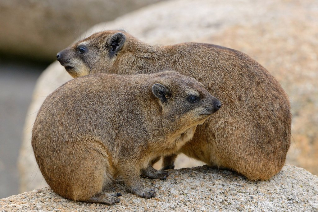 Rock Hyrax or Cape Hyrax Procavia capensis, Stuttgart, Baden_Wuerttemberg, Germany, Europe : Stock Photo