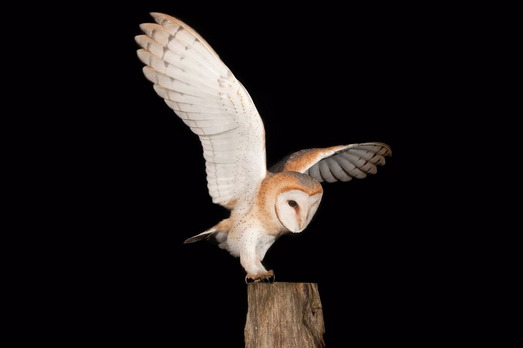 Stock Photo: 1848-563179 Barn Owl Tyto alba with a mouse on a fence post, Volcanic Eifel, Rhineland_Palatinate, Germany, Europe