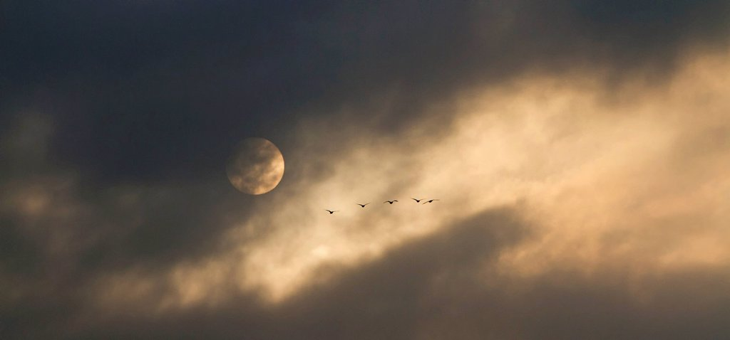 Greylag geese Anser anser in flight, cloudy sky with the moon, near Potsdam, Brandenburg, Germany, Europe : Stock Photo