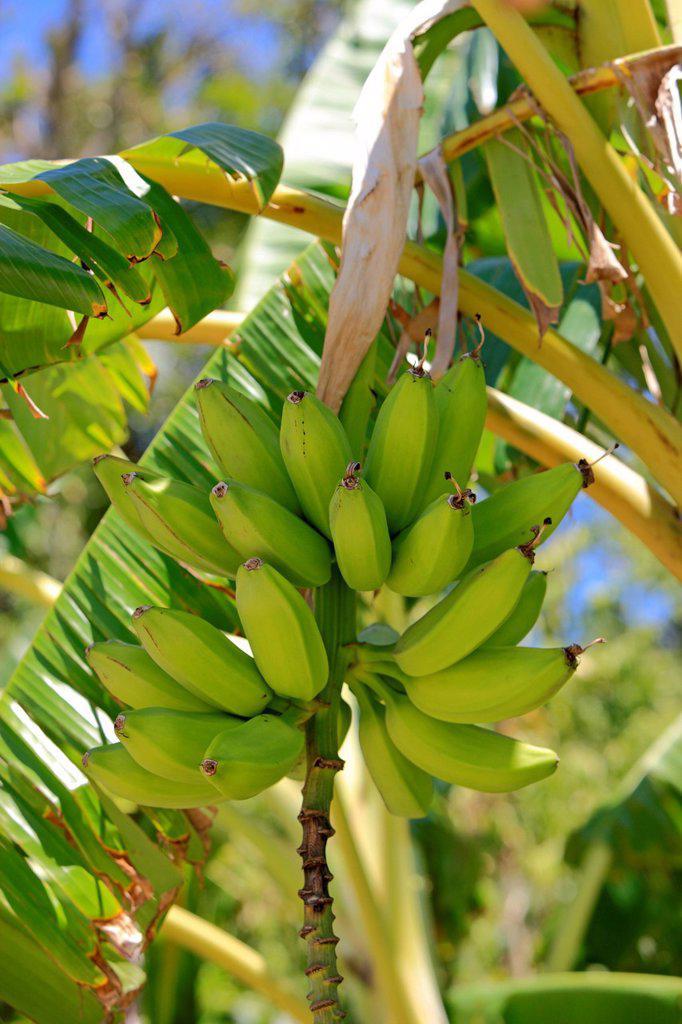 Stock Photo: 1848-563616 Banana Musa x paradisiaca, banana tree, Roatan, Honduras, Caribbean, Central America, Latin America