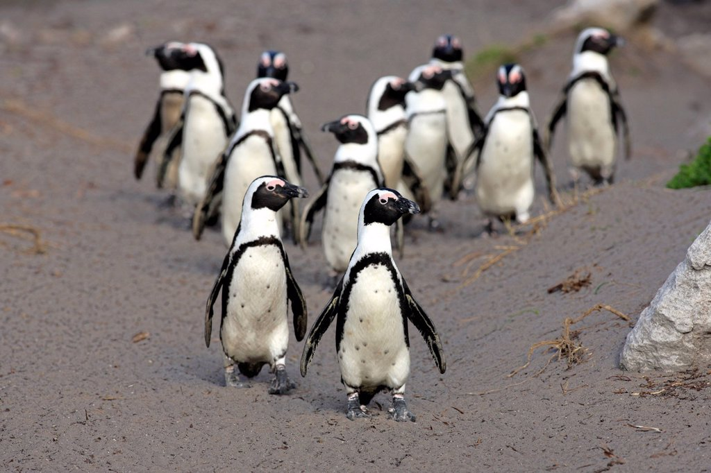 Stock Photo: 1848-563626 African Penguins, Black_footed Penguin or Jackass Penguin Spheniscus demersus, group on the beach, Betty´s Bay, South Africa, Africa