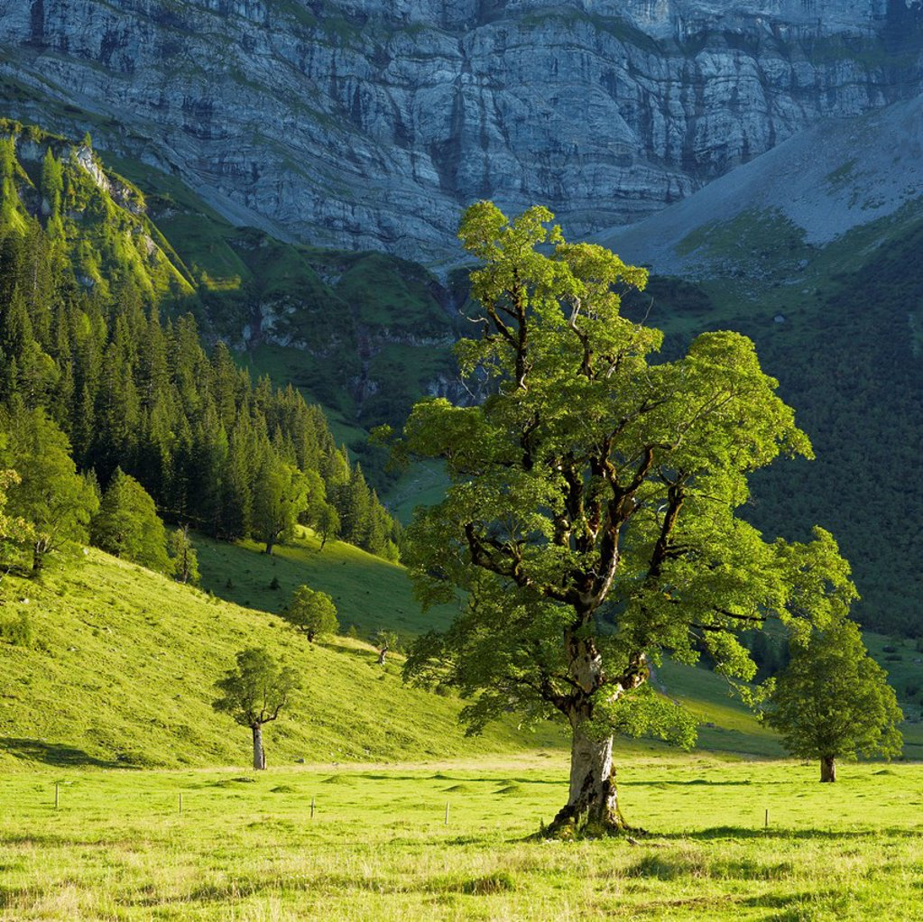Maple trees Acer, Ahornboden, mountain pasture with old maple trees, near Hinterriss, Risstal, Austria, Europe : Stock Photo