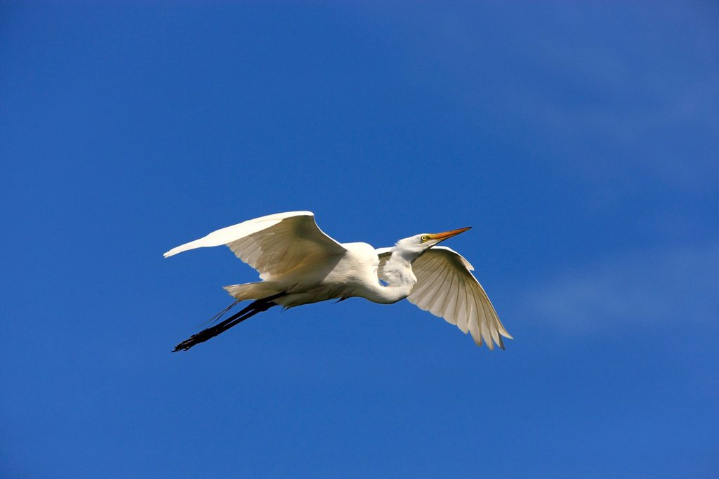 Great Egret Egretta alba, adult, in flight against blue sky, Florida, USA : Stock Photo