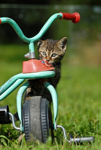 Stock Photo: 1848-5645 Domestic cat, kitten on a tricycle