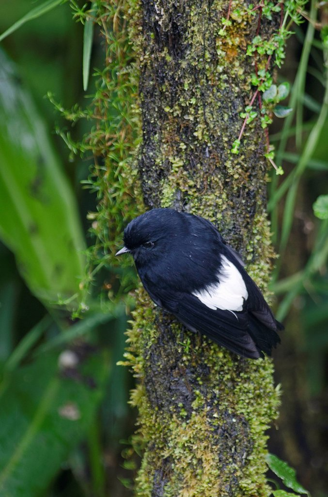 White_winged Robin Peneothello sigillatus hagenensis, male, near Mt Hagen, Western Highlands, Papua New Guinea, Oceania : Stock Photo