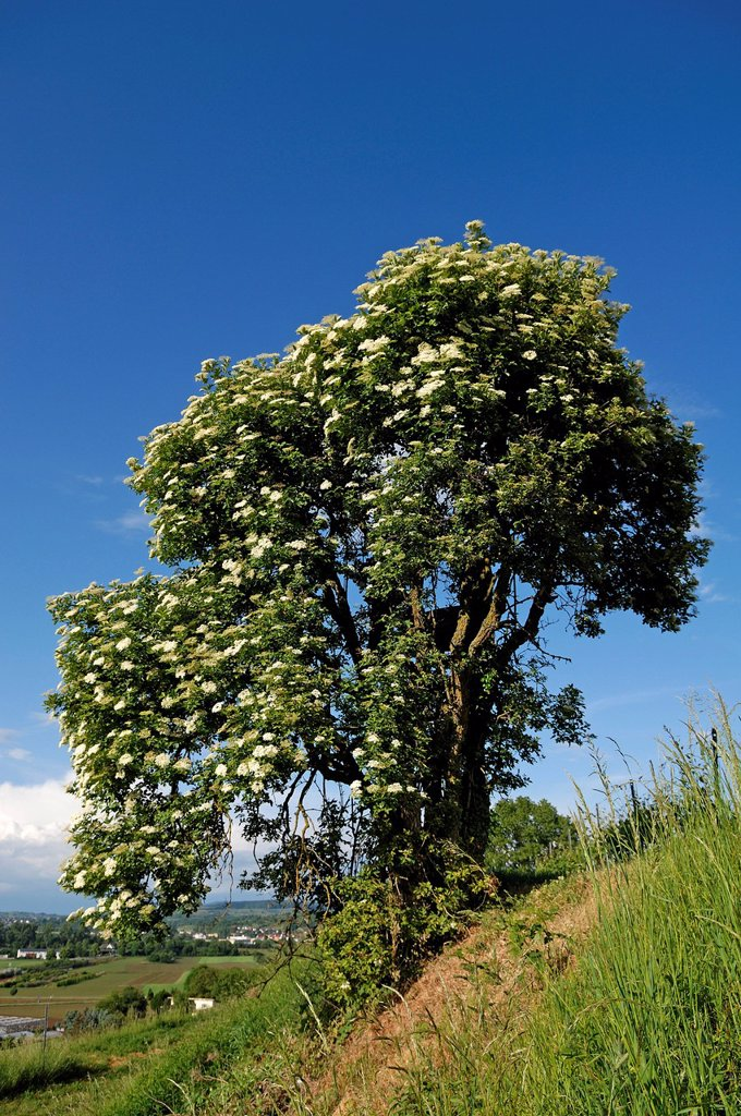 Stock Photo: 1848-565047 Flowering elder, Black or European elderberry Sambucus nigra, Ettenheim, Baden_Wuerttemberg, Germany, Europe