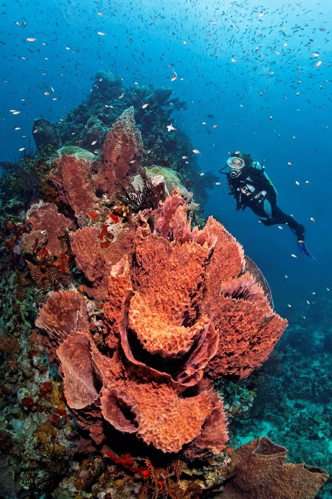 Diver looking at a Caribbean barrel sponge Xestospongia muta and Deep_water sea fan Iciligorgia schrammi on a coral, reef top, St. Lucia, Windward Islands, Lesser Antilles, Caribbean, Caribbean Sea : Stock Photo