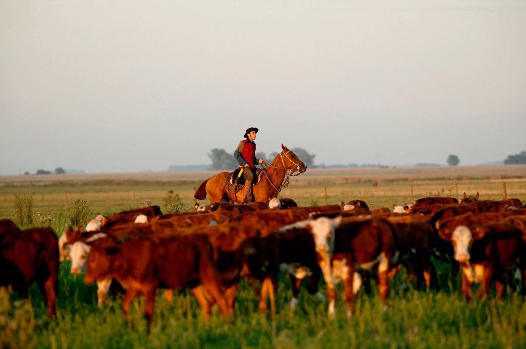 Gaucho on horseback, driving cattle, Estancia San Isidro del Llano towards Carmen Casares, Buenos Aires province, Argentina, South America : Stock Photo