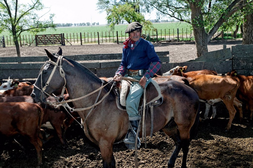 Stock Photo: 1848-567614 Gaucho on horseback, driving cattle, Estancia San Isidro del Llano towards Carmen Casares, Buenos Aires province, Argentina, South America