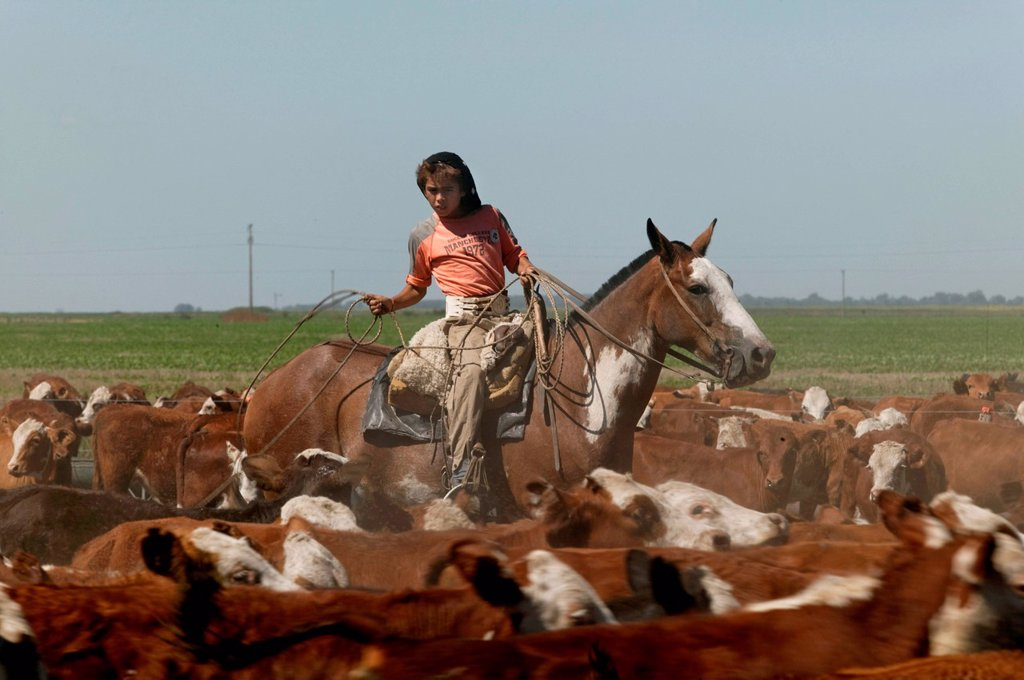 Stock Photo: 1848-568512 Gaucho on horseback, driving cattle, Estancia San Isidro del Llano towards Carmen Casares, Buenos Aires province, Argentina, South America