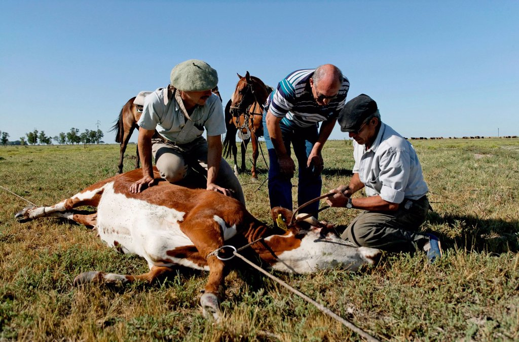 Gauchos sawing off horn of cattle, Estancia San Isidro del Llano towards Carmen Casares, Buenos Aires province, Argentina, South America : Stock Photo