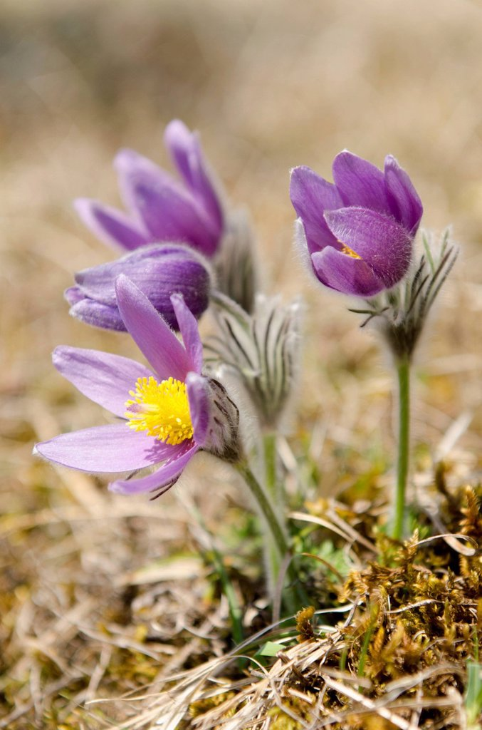 Stock Photo: 1848-568660 Common Pasque Flowers or Dane´s Blood Pulsatilla vulgaris, Baden_Wuerttemberg, Germany, Europe