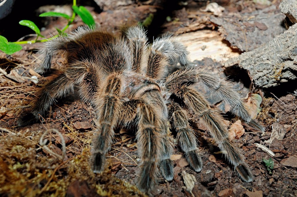Stock Photo: 1848-569357 Chilean Rose Tarantula or Chilean Flame Tarantula Grammostola rosea, Grammostola cala, Grammostola spatulata native to South America, in captivity, North Rhine_Westphalia, Germany, Europe