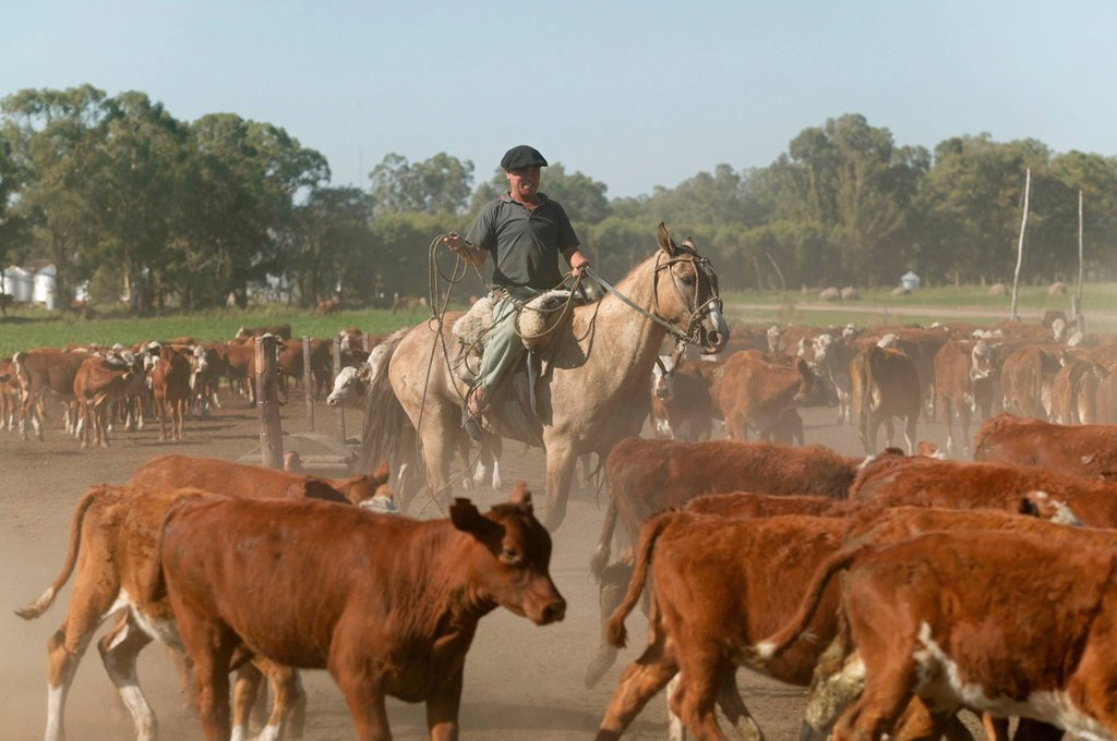 Stock Photo: 1848-570336 Gaucho on horseback, driving cattle, Estancia San Isidro del Llano towards Carmen Casares, Buenos Aires province, Argentina, South America