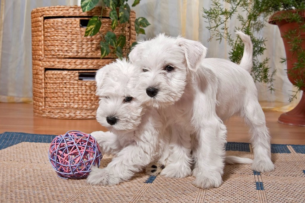 Stock Photo: 1848-570425 Two white Miniature Schnauzer puppies playing in an apartment