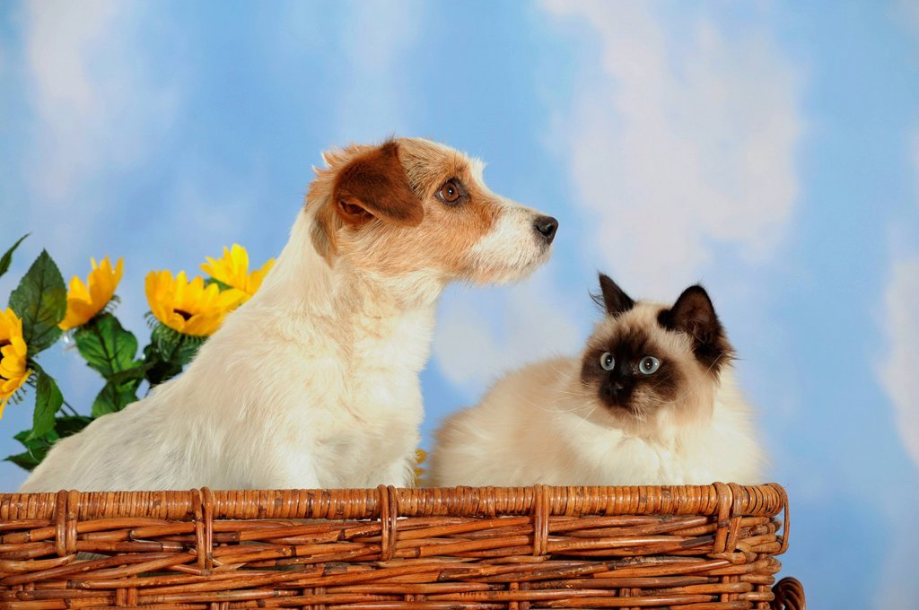 Stock Photo: 1848-570542 Parson Russell Terrier and a Birman or a Sacred Cat of Burma in a wicker basket