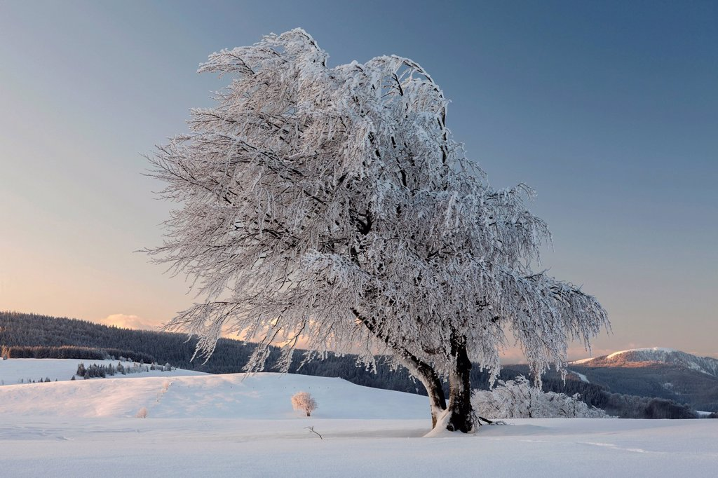 Beech tree in the fresh snow in the morning light, view of Belchen mountain, Schauinsland mountain near Freiburg, Black Forest mountain range, Baden_Wuerttemberg, Germany, Europe, PublicGround : Stock Photo