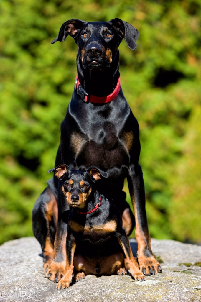 Doberman and a Miniature Pinscher sitting on a rock, North Tyrol, Austria, Europe : Stock Photo