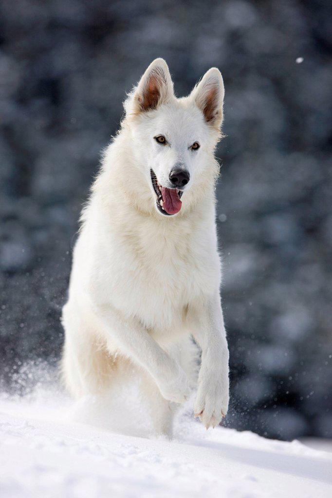 Stock Photo: 1848-572939 White shepherd dog running on snow, North Tyrol, Austria, Europe