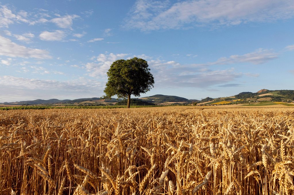 Agricultural landscape, grainfield, near Billom, Puy de Dome, France, Europe : Stock Photo