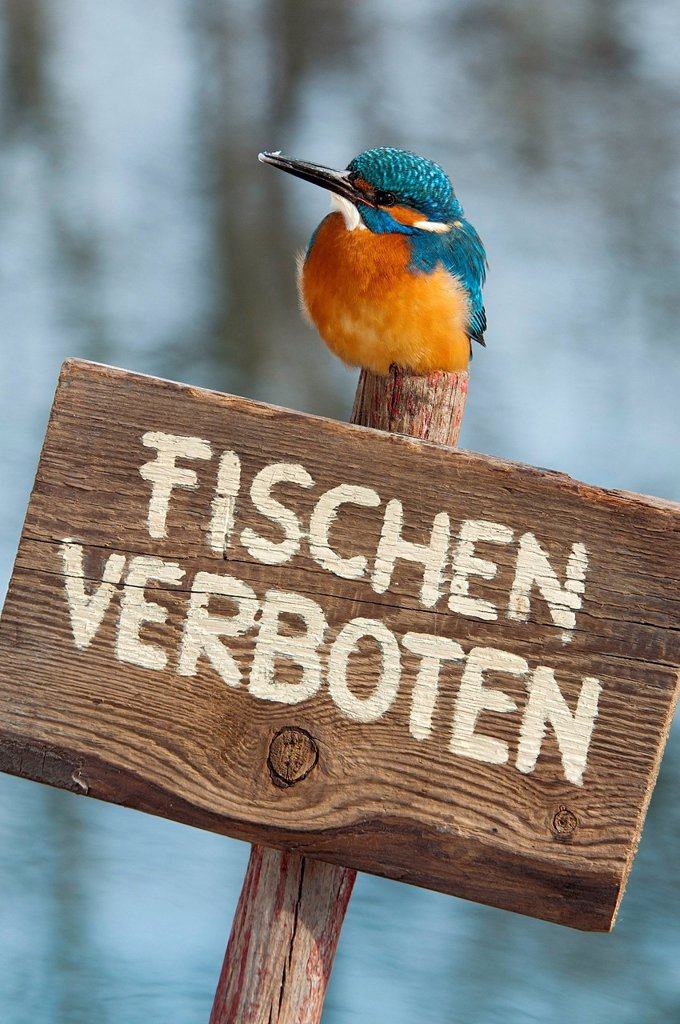 Stock Photo: 1848-573628 Kingfisher Alcedo atthis, perched on a German ´´no fishing´´ sign, Tratzberg landscape conservation area, Tyrol, Austria, Europe