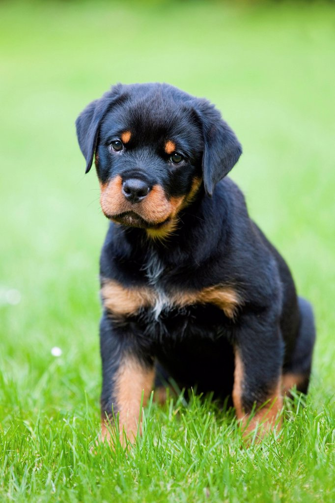 Stock Photo: 1848-573891 Rottweiler puppy sitting in a meadow, North Tyrol, Austria, Europe