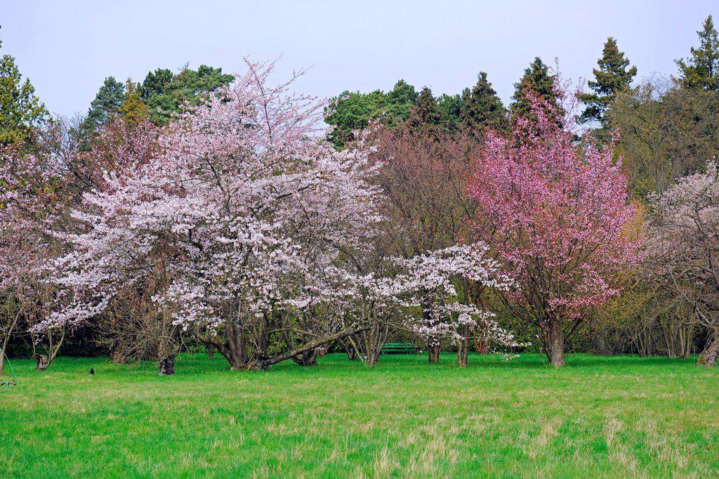 Various Cherry Prunus sargentii trees in full bloom, Berlin, Germany, Europe : Stock Photo