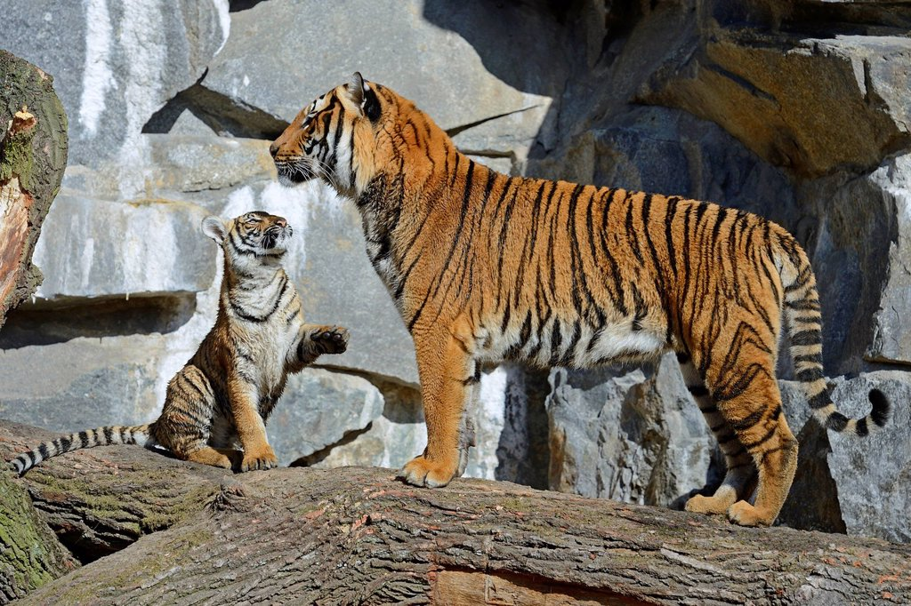 Stock Photo: 1848-574731 Indochinese Tiger or Corbett´s Tiger Panthera tigris corbetti, tigress and cub, Berlin Zoo, Germany, Europe