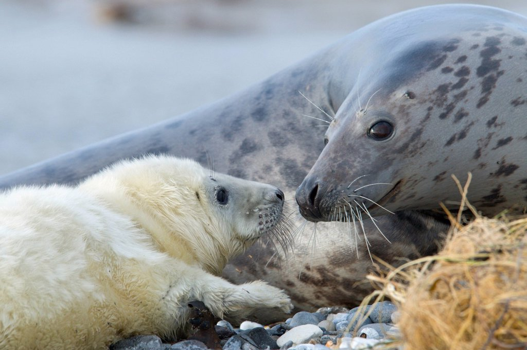 Grey Seals Halichoerus grypus, mother with pup, Heligoland, Schleswig_Holstein, Germany, Europe : Stock Photo