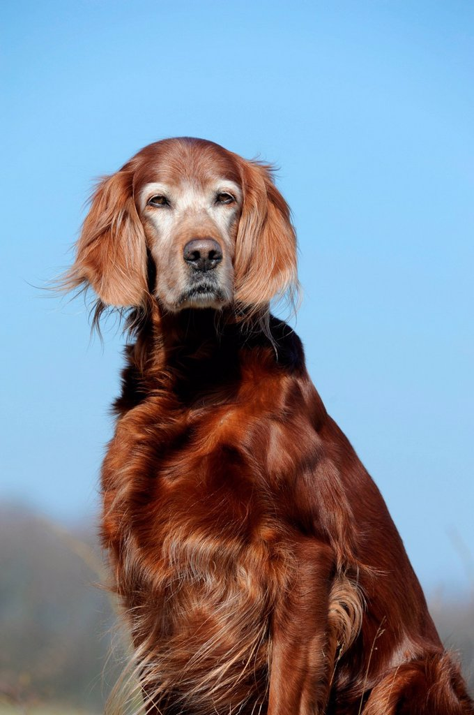 Irish Setter, sitting : Stock Photo