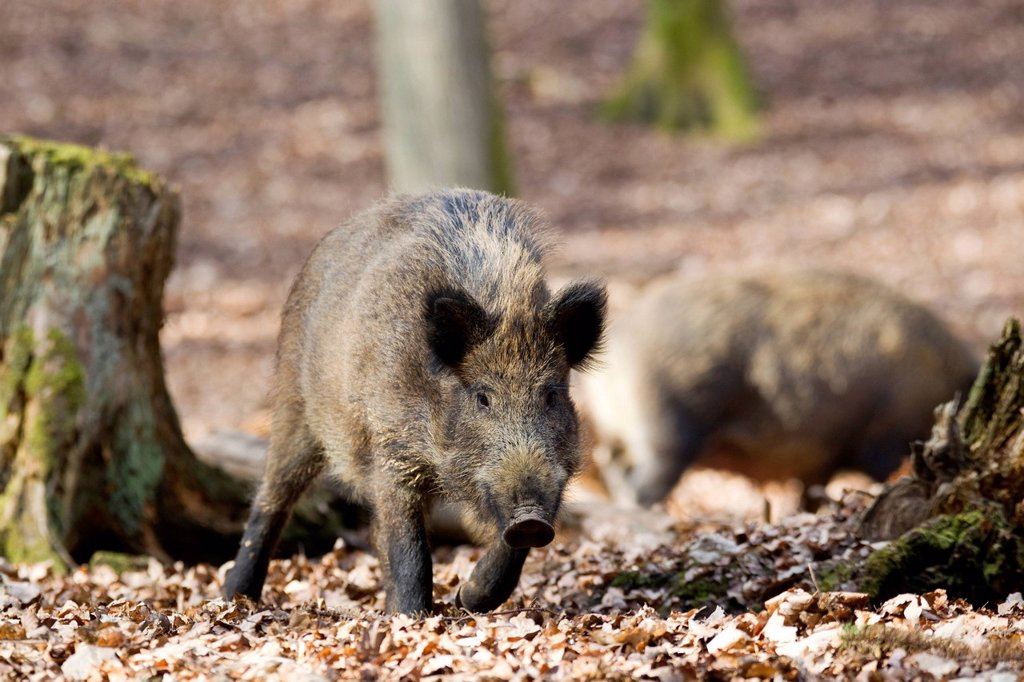 Stock Photo: 1848-575092 Wild Boar Sus scrofa, Wildpark Vulkaneifel deer park, Rhineland_Palatinate, Germany, Europe