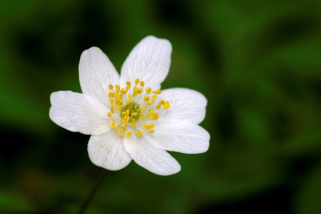 Stock Photo: 1848-575204 Wood Anemone, Thimbleweed or Smell Fox Anemone nemorosa, Berlin, Germany, Europe
