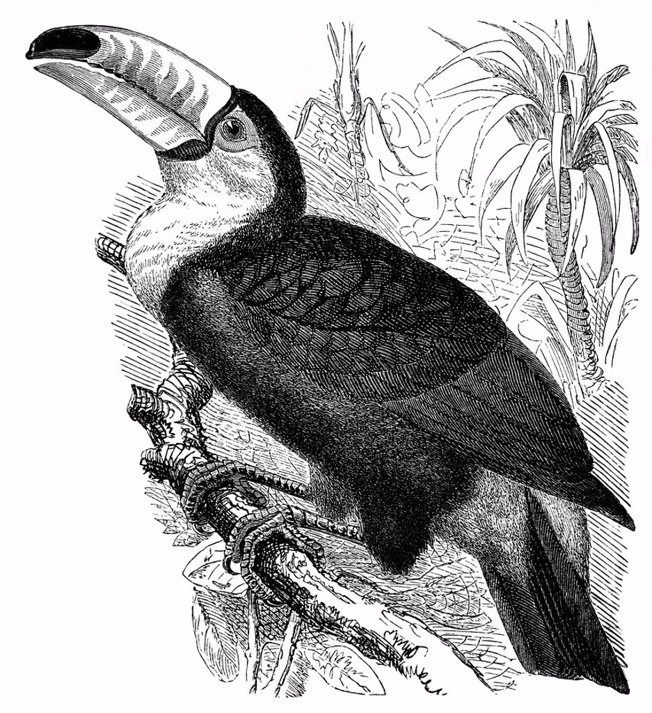 Stock Photo: 1848-575509 Historical graphic representation, Toucanet, toucan Selenidera Culik, 19th Century, from Meyers Konversations_Lexikon encyclopaedia, 1889